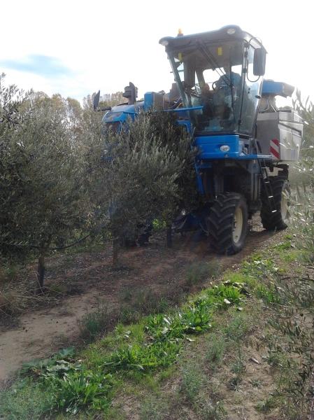 Collita olives